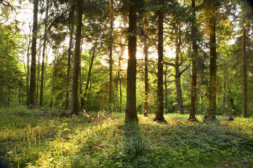 Sunset through spring forest.