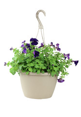 Isolated Petunias