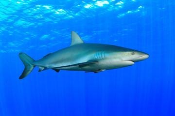 Gray Reef Shark (Carcharhinus amblyrhynchos)