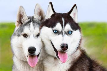 couple of young siberian huskies