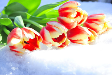 five red tulips on snow