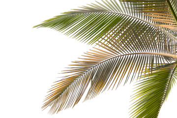 Withered and yellow palm Leaves