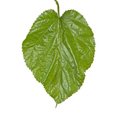 Leaf of mulberry isolated on white background