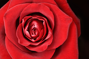 Macro of beautiful rose for anniversary postcard
