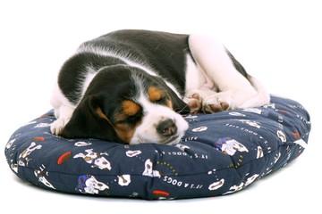träumender Beagle Welpe liegend auf Hundekissen