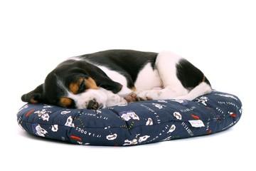 liegender Beagle Welpe träumt auf dem Kissen