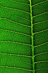 Texture of plumeria leaf