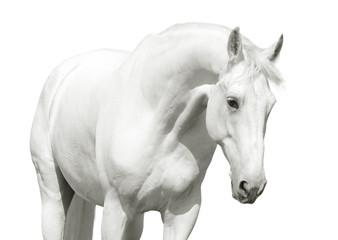 Wall Mural - white horse high key