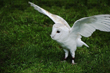 Affisch - Barn owl bird of prey in falconry display