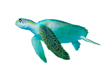 Green Sea Turtle (Chelonia mydas) on white background