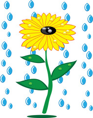 Sunflowers and rain drops on isolated