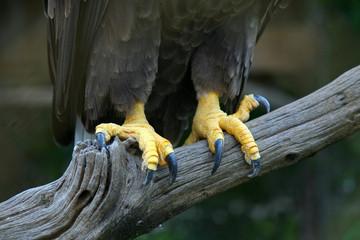 Eagle feet