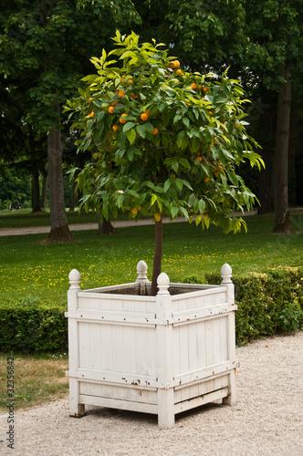 Oranger en pot photo libre de droits sur la banque d 39 images image 32356842 - Oranger du mexique en pot ...