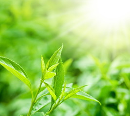 Tea leaves at a plantation