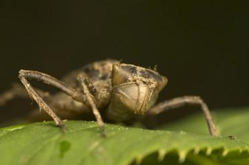 Nymph dragonfly