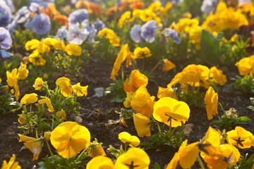 beautiful pansies in a city garden