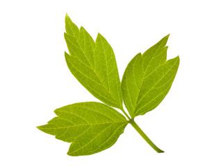 ash-leaved maple leaf
