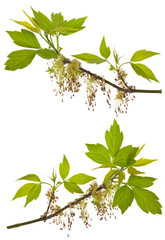 branches of blooming ash-leaved maple
