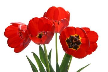 flower of  tulip