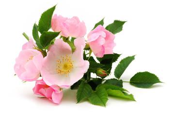Dog rose blossom isolated