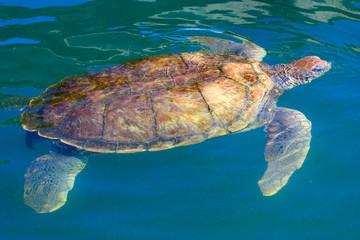 Big sea turtle swimming in the caribbean waters