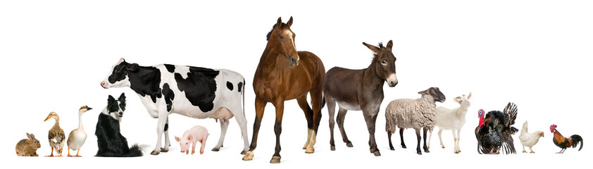 Wall Mural - Variety of farm animals in front of white background