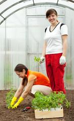 women planting tomato seedlings