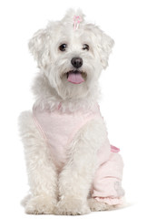 Maltese wearing pink, 3 years old