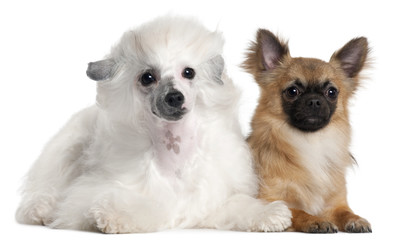 Chihuahua, 1 year old, and Chinese Crested Dog, 1 year old,