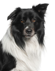Close-up of Border Collie, 3 and a half years old