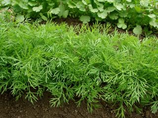 Fototapeta dill growing on the vegetable bed obraz