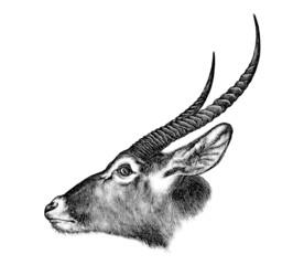 Antelope Head 103