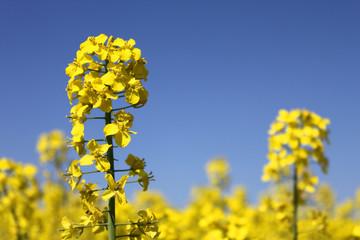 yellow rape canola field blue sky