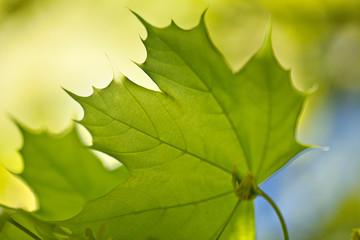 Ahornblätter im Frühling