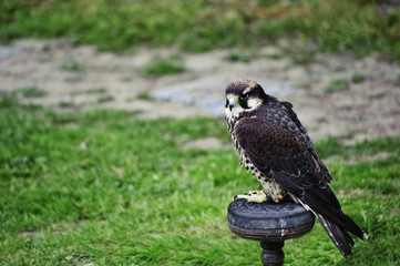 Fototapete - Gyr falcon during falconry display
