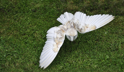 Fototapete - Barn owl bird of prey in falconry display