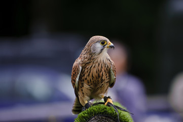 Affisch - Male kestrel bird of prey raptor during falconry display
