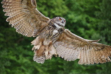 Wall Mural - Stunning European eagle owl in flight