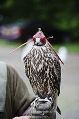 Fototapete - Hooded Gyr falcon during falconry display