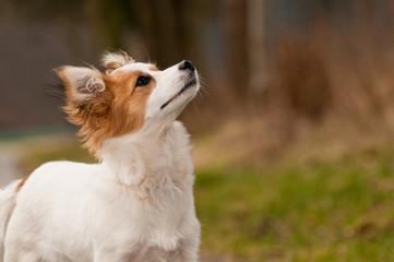 Fototapeta Hund, Havaneser, Rassehund, klein, niedlich, Dog obraz
