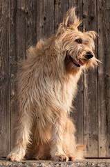 Fototapeta Berger de Picardie, Briard, Hütehund, Rassehund, Hund, Dog obraz