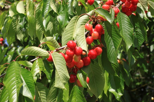 Cherries on branch