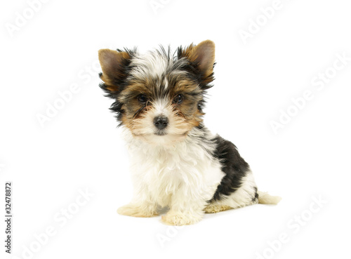 Biewer Terrier Puppy Isolated On White Background Stock Photo And