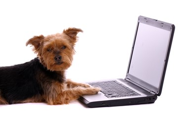 liegender Hund Yorkshire Terrier mit Laptop