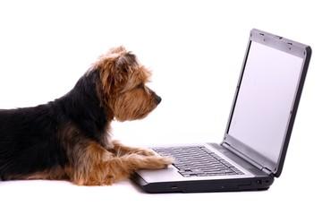liegender Hund Yorkshire Terrier schaut in Bildschirm