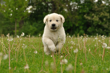 Golden retriever puppy running between dandelions