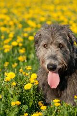 Irish Wolfhound im Frühling