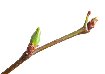 Young bud on cherry twig