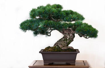 Keuken foto achterwand Bonsai Kiefer (Pinus) als Bonsai