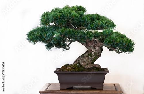 kiefer pinus als bonsai stockfotos und lizenzfreie bilder auf bild 32496436. Black Bedroom Furniture Sets. Home Design Ideas